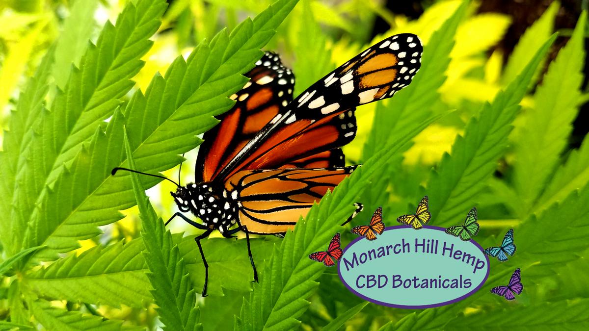 Monarch-in-GH-2