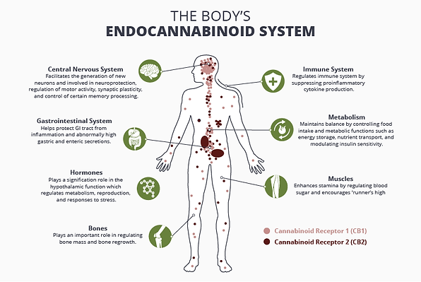 How_the_Endocannabinoid_System_Works.png