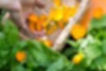 cuillette_et_préparation_remèdes_modifié