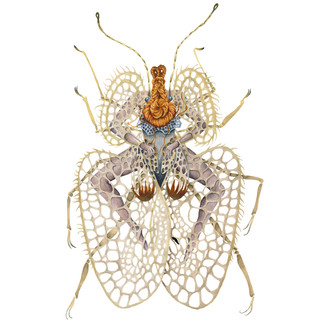 Corythucha Ciliata.jpg