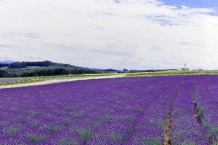 flower-land-gallery-lavender.jpg
