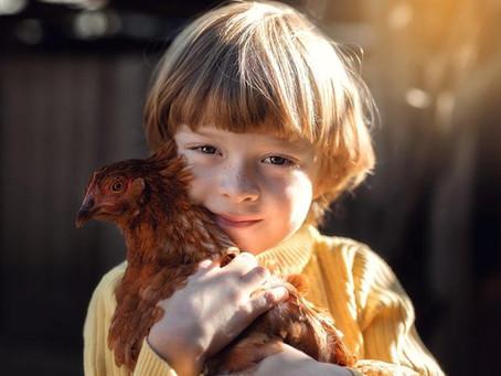 Pendant les chaudes journées d'été, comment puis-je améliorer le confort de mes poules ?
