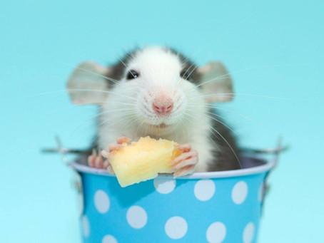Le monde animal... des infos pas banales : Les souris aiment-elles vraiment le fromage ?
