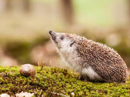 Aujourd'hui, zoom sur les hérissons et leur hibernation.
