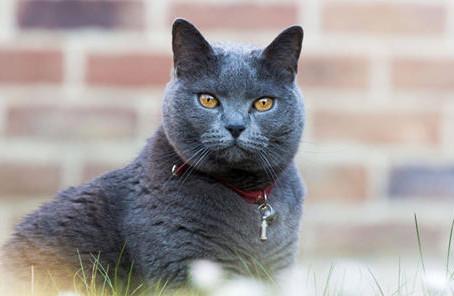 Aujourd'hui, zoom sur le chat Chartreux.