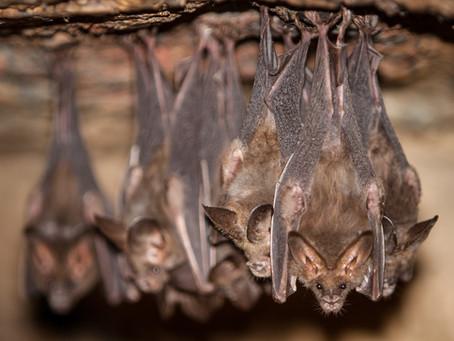 Savez-vous pourquoi les chauves-souris dorment la tête en bas ?