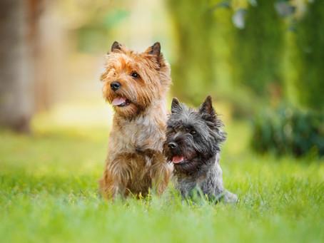 Aujourd'hui, zoom sur le Cairn Terrier.