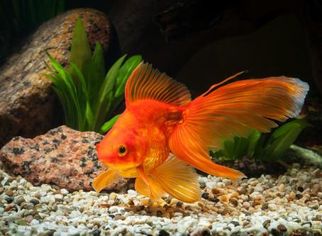 Le monde animal... des infos pas banales : la taille du poisson rouge.