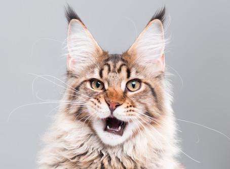 Aujourd'hui, zoom sur les races de chats les plus bavards !
