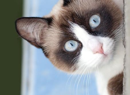 Aujourd'hui, zoom sur le chat Snowshoe !