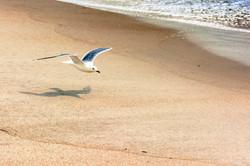 Jones Beach Gull