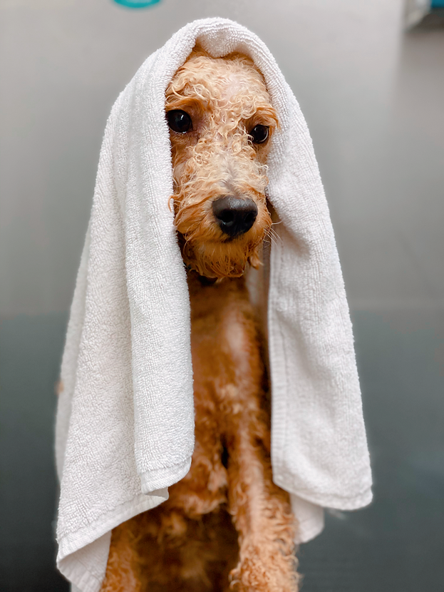 POODLE IN TUB.png