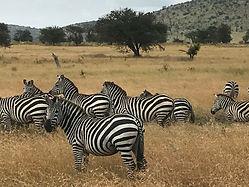 Zebras in the Serengetti, Tanzania