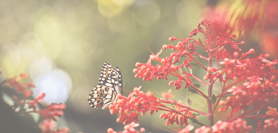 Butterfly BG 11.png