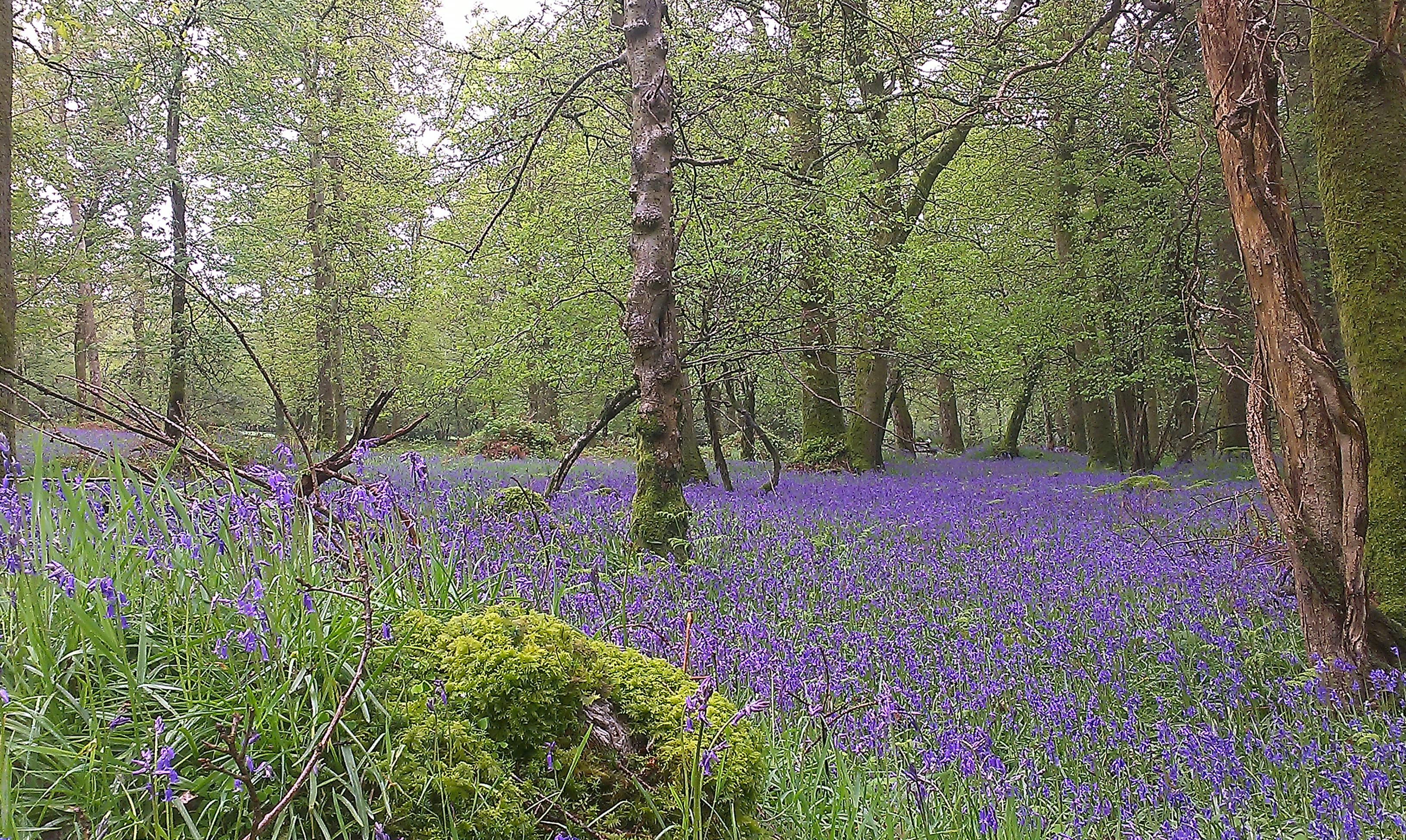 Bluebell Forest Larragh, Wicklow.jpg
