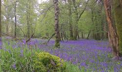 Bluebell Forest Larragh, Wicklow.jpg