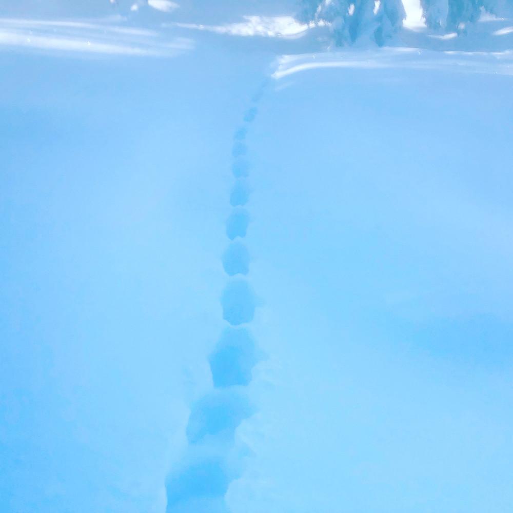 Gaupespor i dyp snø.
