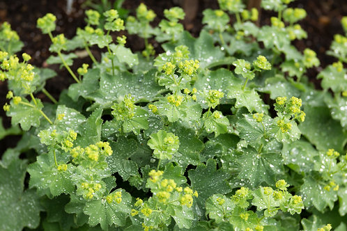 lady mantle herb
