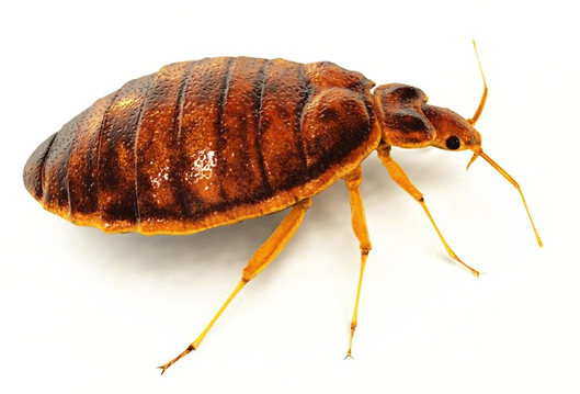 50430-3-bed-bug-free-hd-image.png
