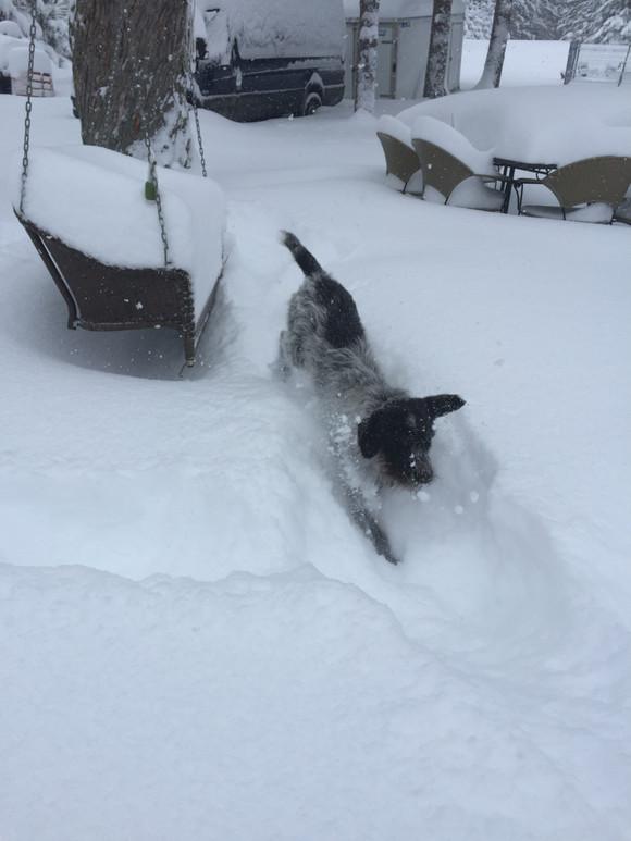 Korthals dans la neige