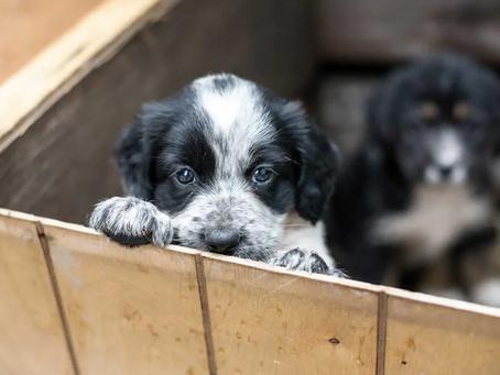Achat d'un chien: Prudence nécessaire