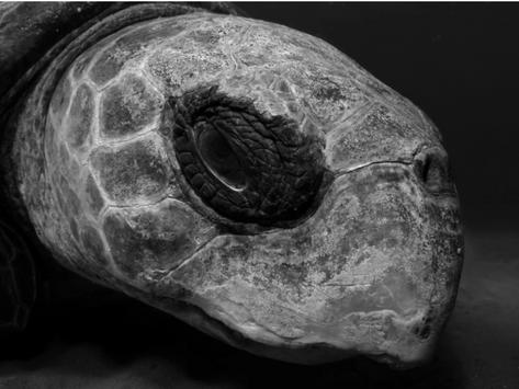 Longevity records in sea turtles