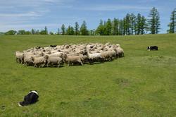 牧羊犬の仕事