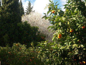 Oranges and almond blossom in January.