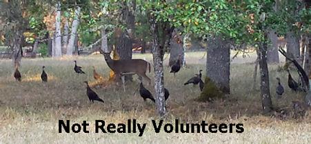 not really volunteers.jpg