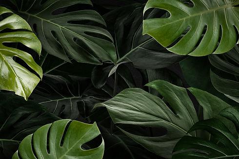 monstera-leaves-nature-background-wallpaper.jpg