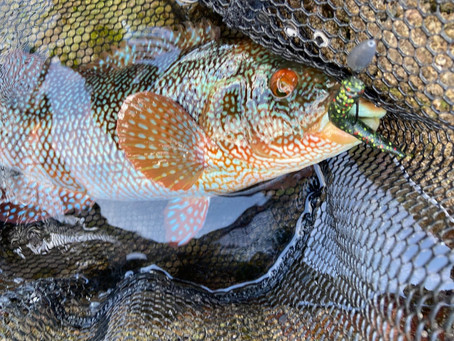 HOW I APPROACH FISHING NED LURES FOR WRASSE