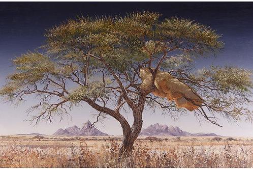 Danie Marais - Spitzkoppe Community Acacia Tree