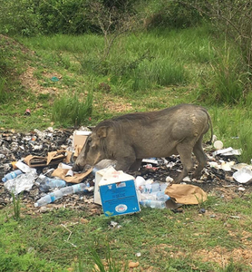A warthog looking through trash for something to eat in Queen Elizabeth National Park