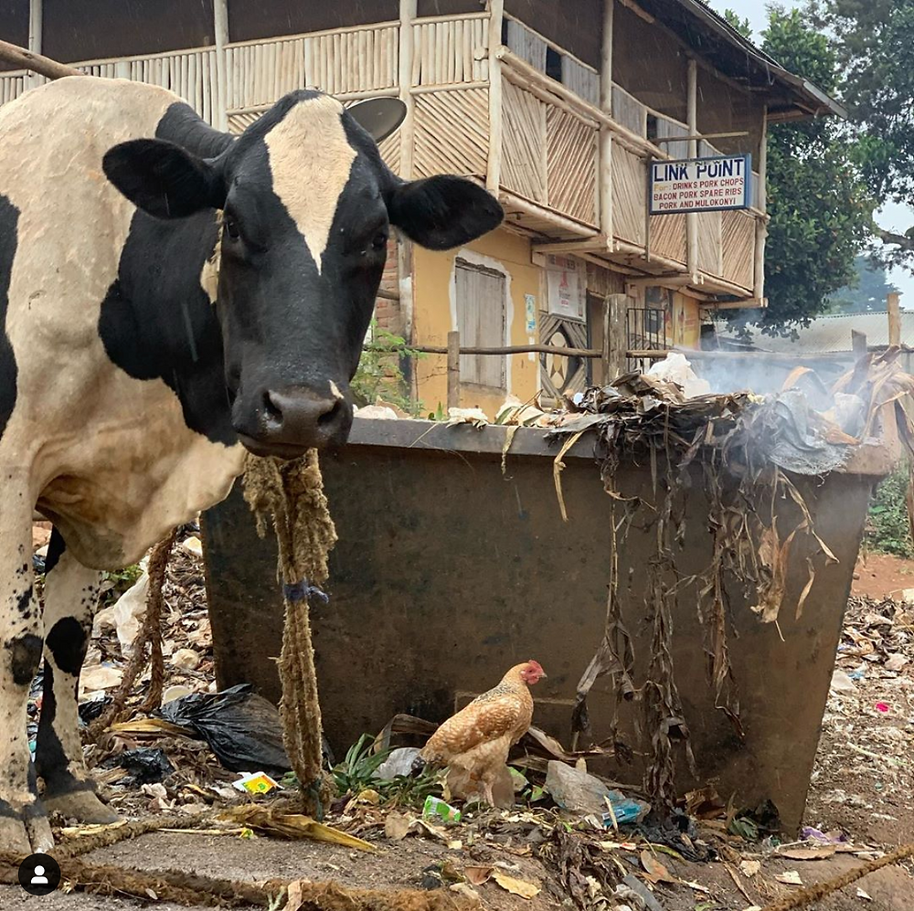A cow in Masaka inhaling the fumes from plastic being burned
