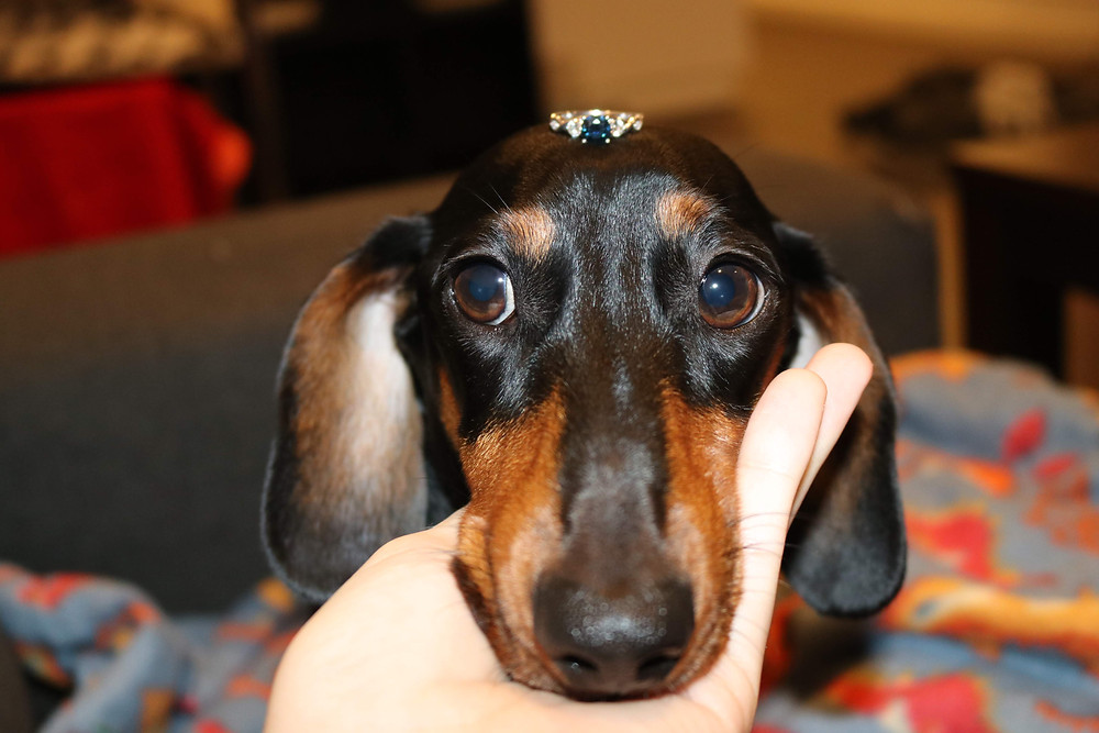 Dennis the Dachshund