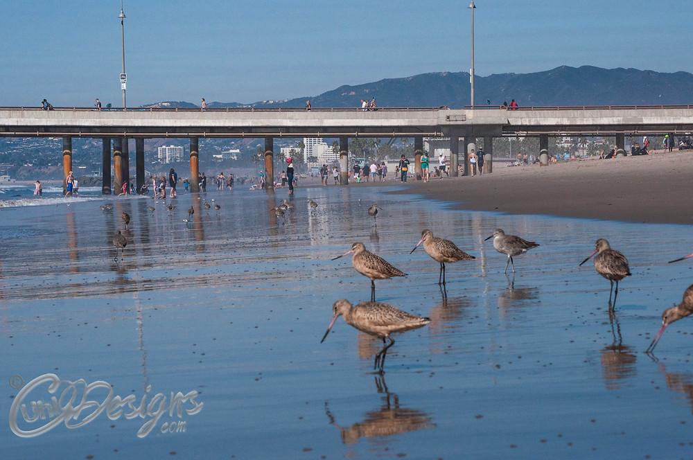 Sandpipers in Venice Beach CA