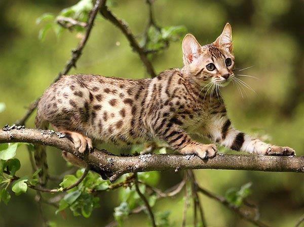 Кот Серенгети. Фото.