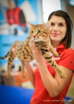 Кот породы Серенгети - победитель.