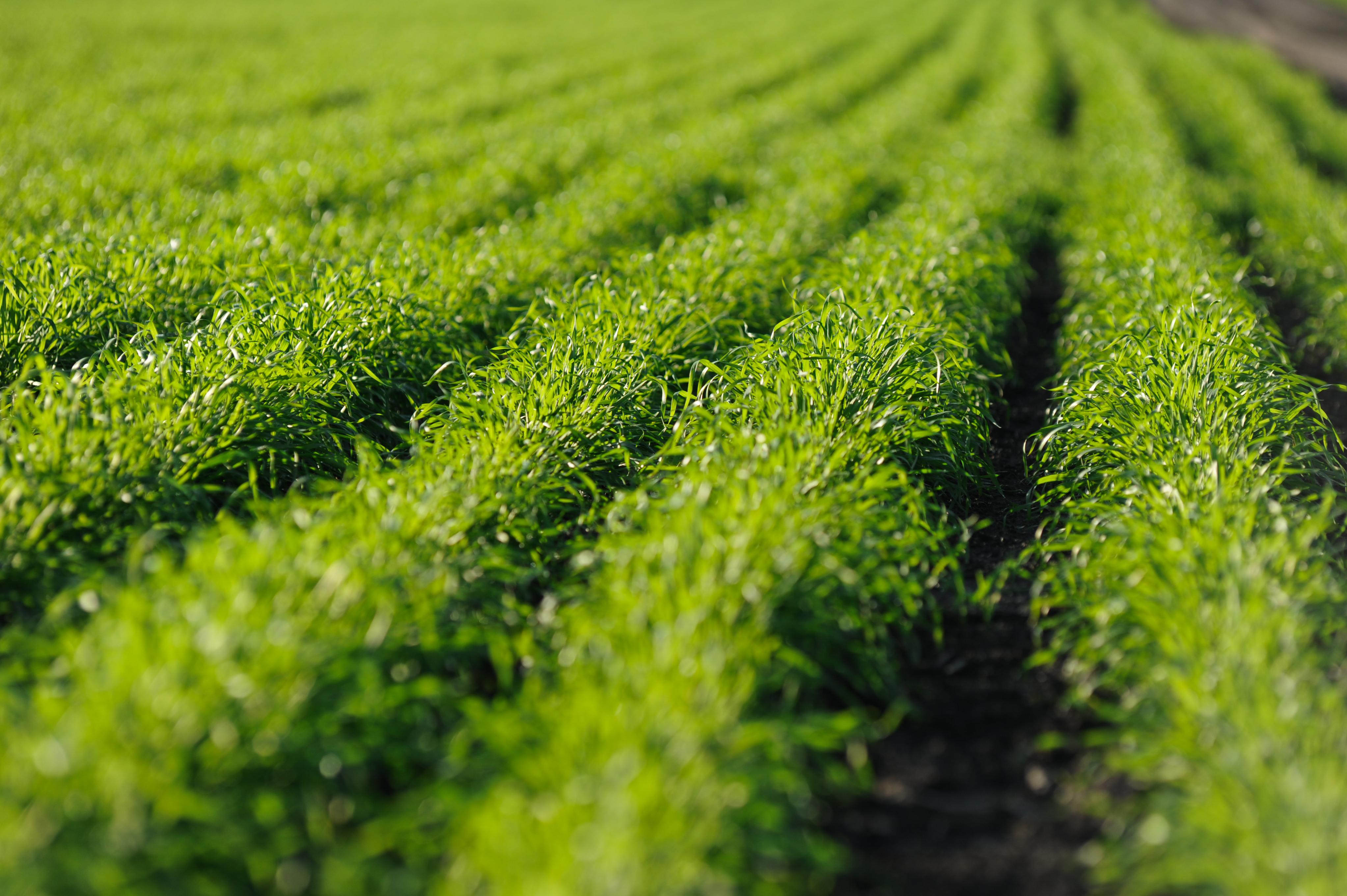 Зелена пшениця