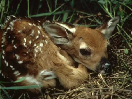 Bambi Alone in the Woods