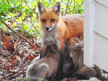 Help! There are red foxes in my yard!