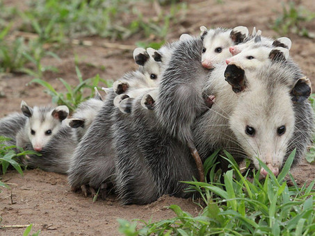 The Opossum: Possibly the most underestimated mammal in North America
