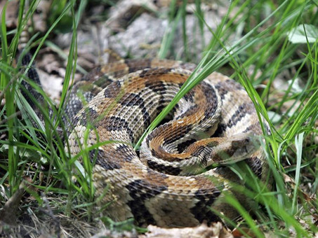 Timber Rattlesnakes in Ohio