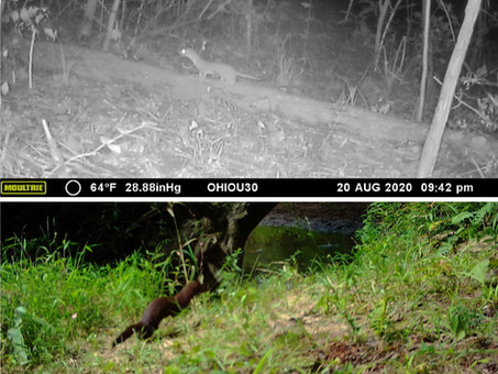 Weasel, ermine, stoat, or mink?