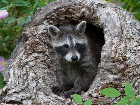 Raccoons in the Spring