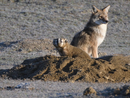 The Tale of the Coyote and the Badger