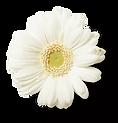 Blume b weiss.png