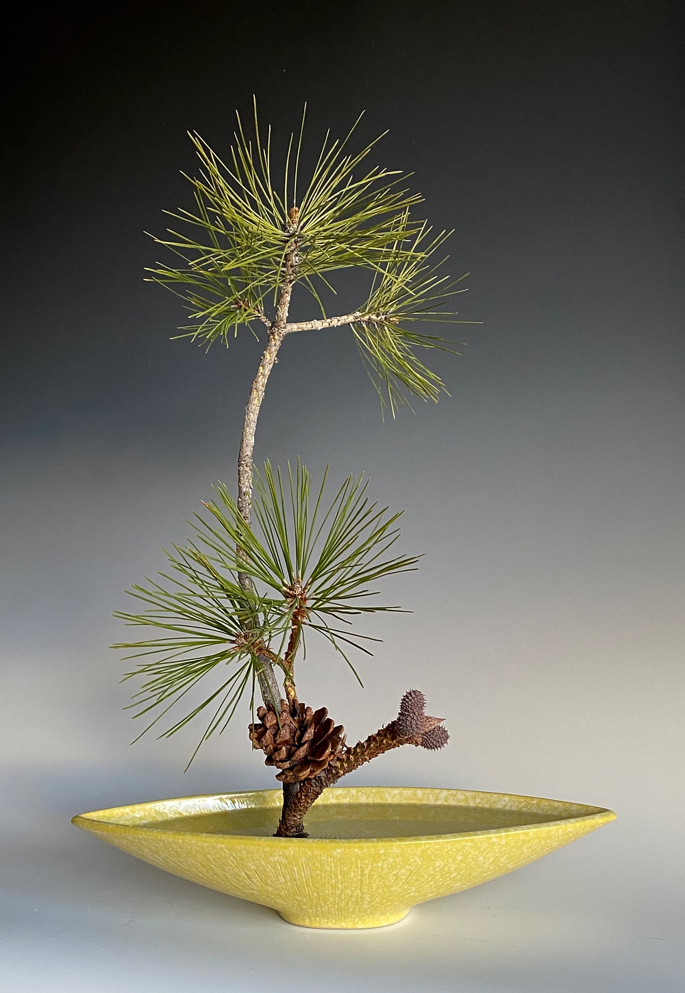 Japanese Ikebana with Ponderosa pine and modern vase.
