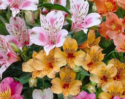 Featured Plant - Alstroemeria