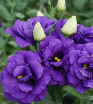 Featured Plant - Lisianthus